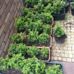some of the Box plants for sale