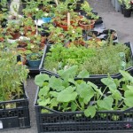 Sylvia's plant sale - best plants in Scotland!